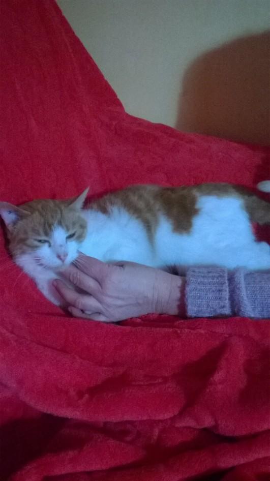 IVANIE, chatte européenne blanche & rousse, née en 2013 Fot4de10