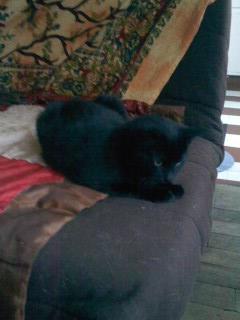 joliecat - JOLIECAT, femelle type européen noire, née le 20/07/2014 Image015