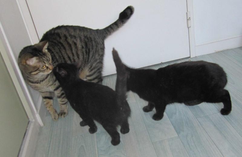 joliot - JOLIOT, chaton européen robe noire, né le 08/09/14 Img_1025