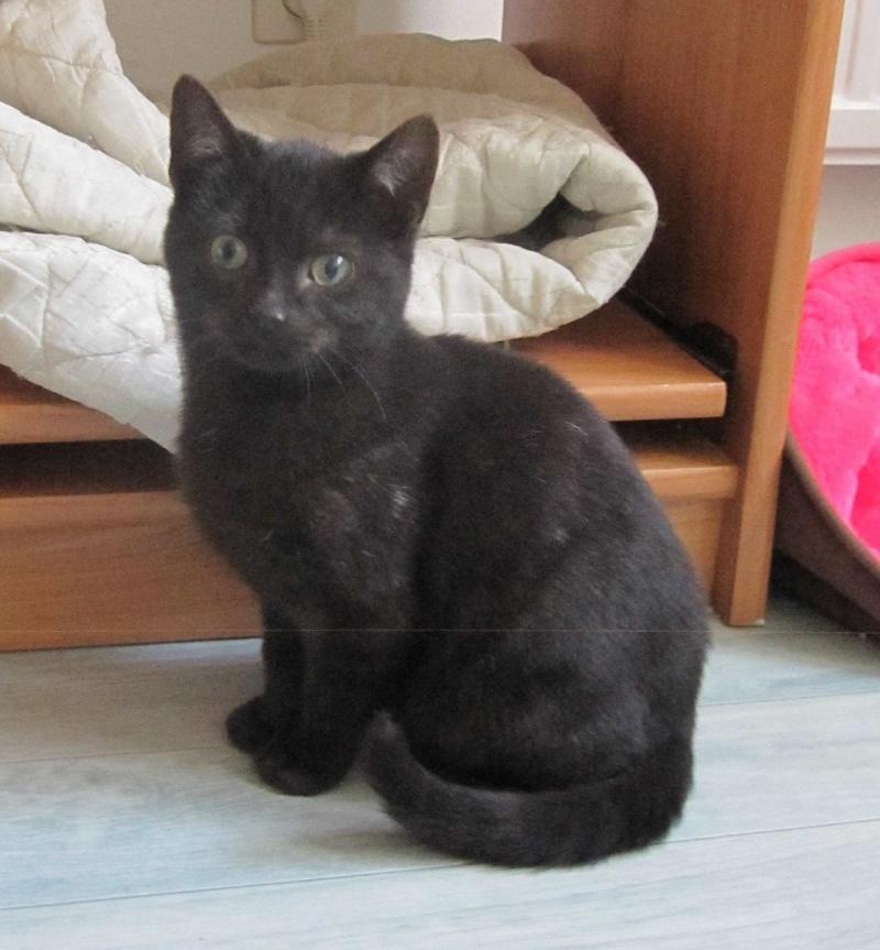 joliot - JOLIOT, chaton européen robe noire, né le 08/09/14 Img_1026