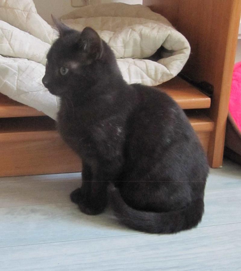 joliot - JOLIOT, chaton européen robe noire, né le 08/09/14 Img_1027