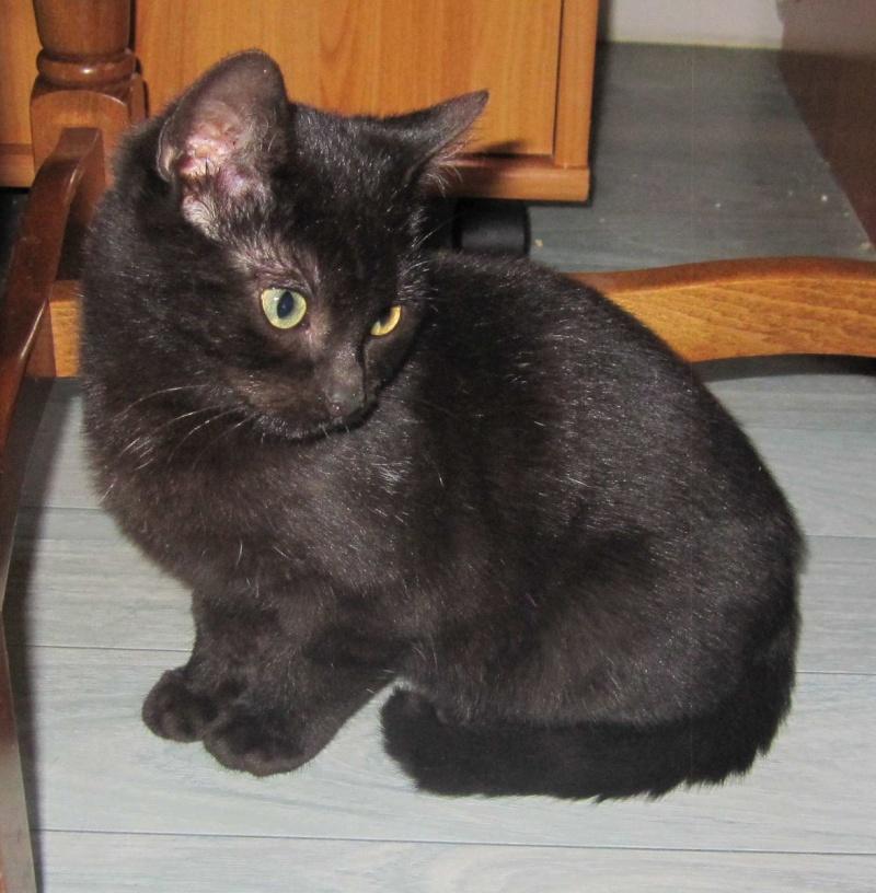 joliot - JOLIOT, chaton européen robe noire, né le 08/09/14 Img_1028