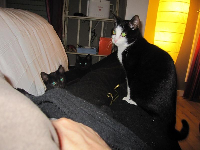 joliot - JOLIOT, chaton européen robe noire, né le 08/09/14 Img_1029