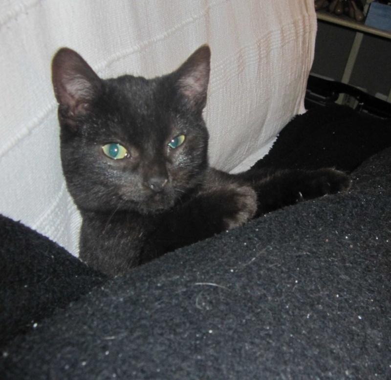 joliot - JOLIOT, chaton européen robe noire, né le 08/09/14 Img_1030