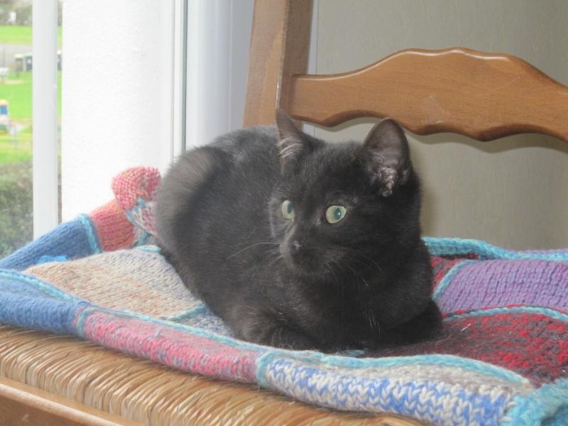 joliot - JOLIOT, chaton européen robe noire, né le 08/09/14 Img_1031