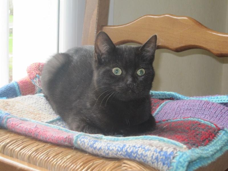 joliot - JOLIOT, chaton européen robe noire, né le 08/09/14 Img_1032