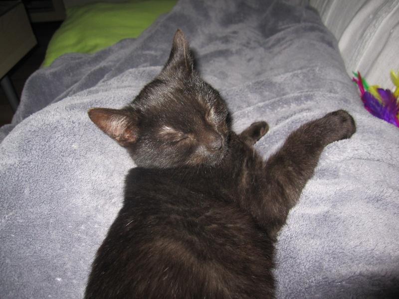 joliot - JOLIOT, chaton européen robe noire, né le 08/09/14 Img_1039