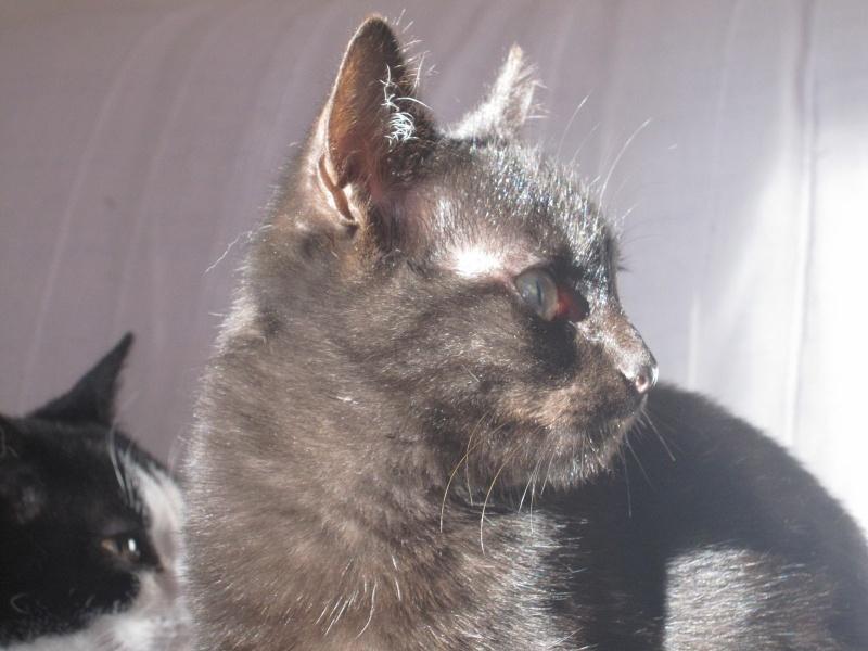 joliot - JOLIOT, chaton européen robe noire, né le 08/09/14 Img_1118