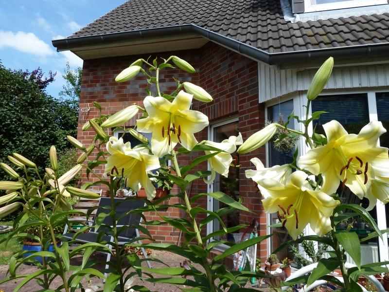 Lilien(artige) -  natürlich Lilien, aber auch Inkalilien, Zeitlose, Germer und Stechwinden - Seite 4 Baumli10
