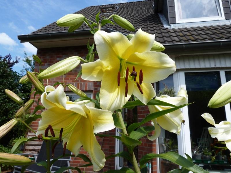 Lilien(artige) -  natürlich Lilien, aber auch Inkalilien, Zeitlose, Germer und Stechwinden - Seite 4 Baumli11