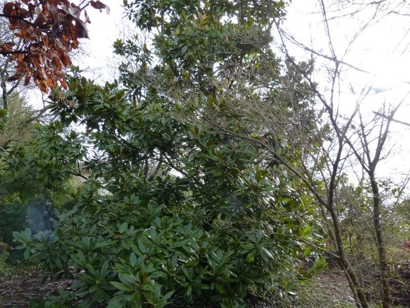 Magnolia grandiflora Magnol13