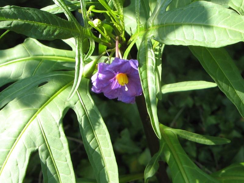Solanum laciniatum, Solanum aviculare, Ruellia - confusions Solanu10