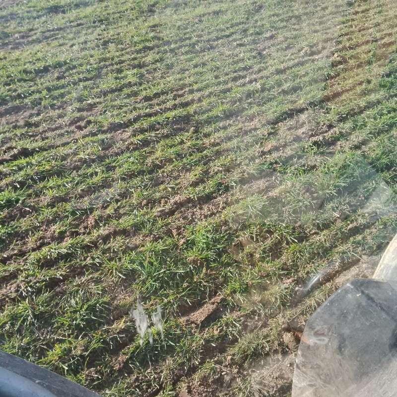 Semis direct de pois dans du triticale Img_2012
