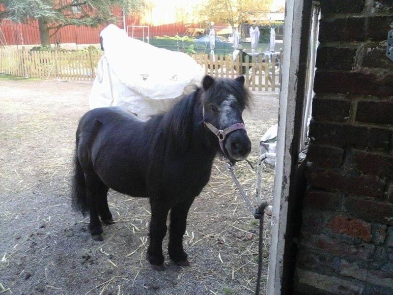 KANSAS - ONC poney typé Shetland né en 1998 - adopté en octobre 2014 par Amandine Kansas10