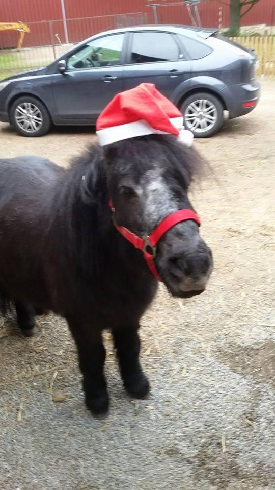 KANSAS - ONC poney typé Shetland né en 1998 - adopté en octobre 2014 par Amandine Kansas11