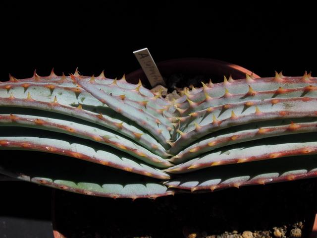 Aloe suprafoliata Supraf10