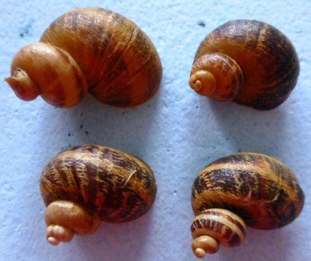 Helix aspersa f. subcornucopiae (O.F. Muller, 1774) 10306210