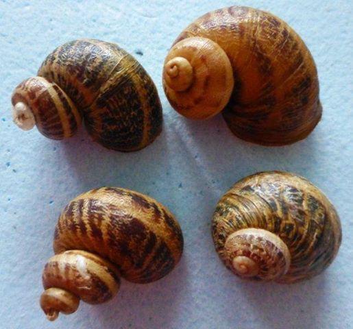 Helix aspersa f. subcornucopiae (O.F. Muller, 1774) 10968510