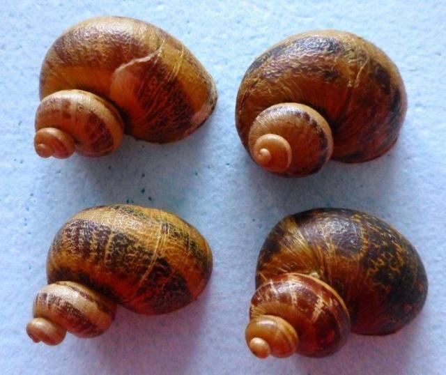 Helix aspersa f. subcornucopiae (O.F. Muller, 1774) 16540010