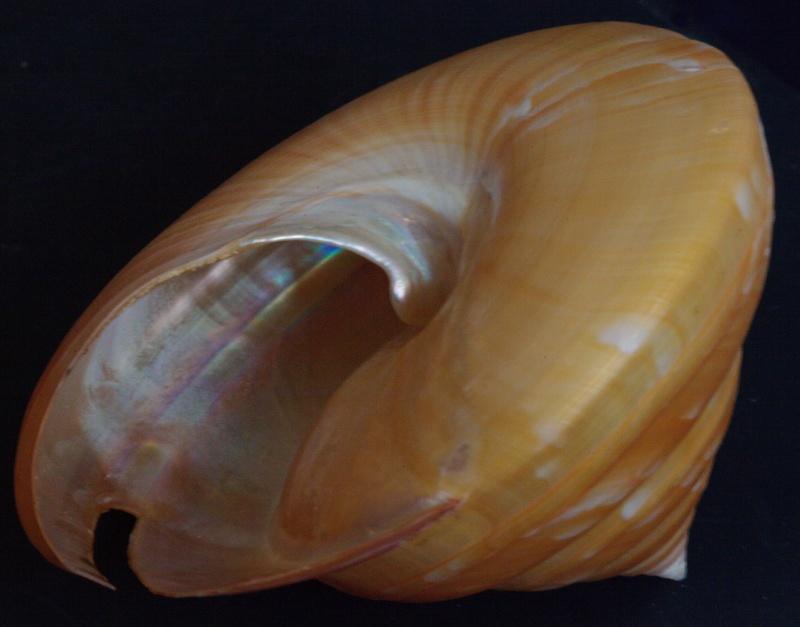 Bayerotrochus boucheti - (Anseeuw & Poppe, 2001) Bouche14
