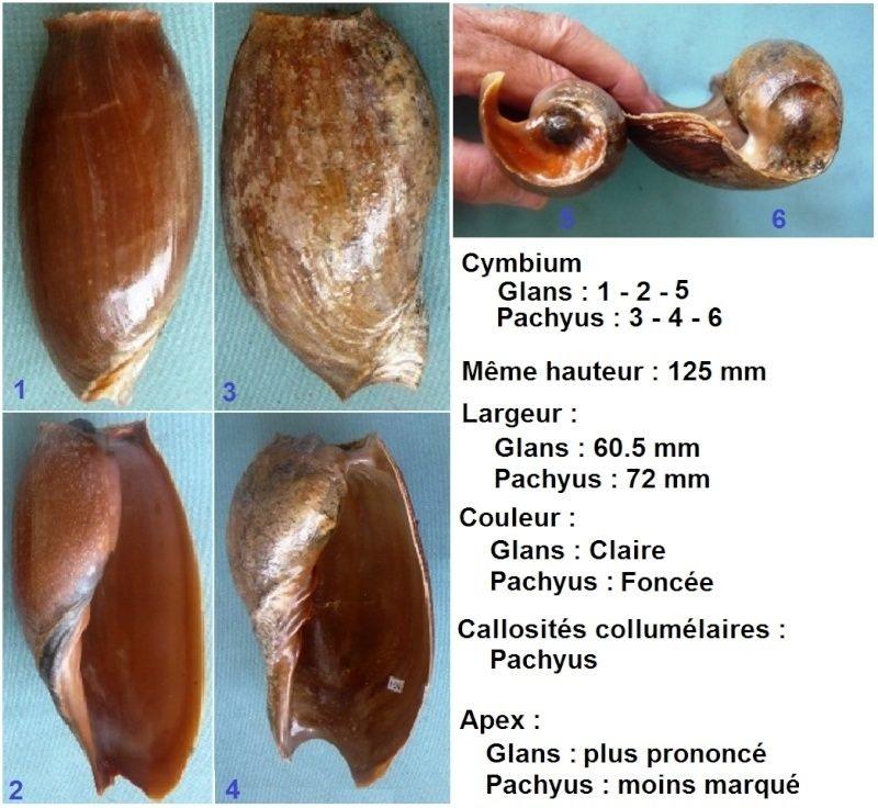 Cymbium pachyus - (Pallary 1930) Cymbiu12