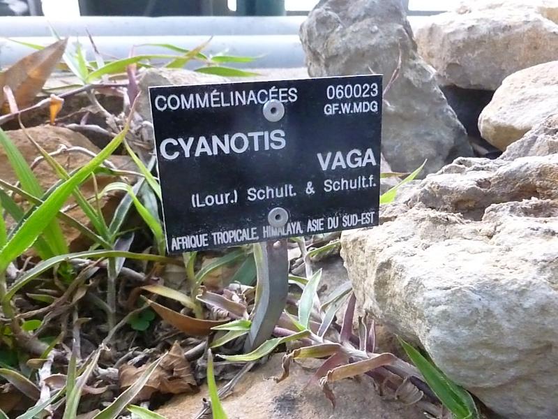 (Commelinaceae aff. Belosynapsis ?) Une nouvelle misère P1050412