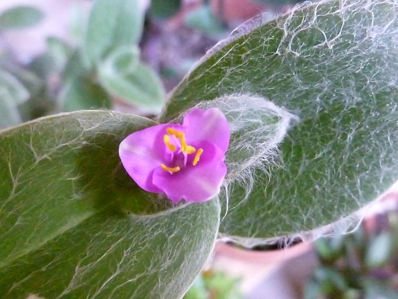 Floraisons de commelinaceae P1060220