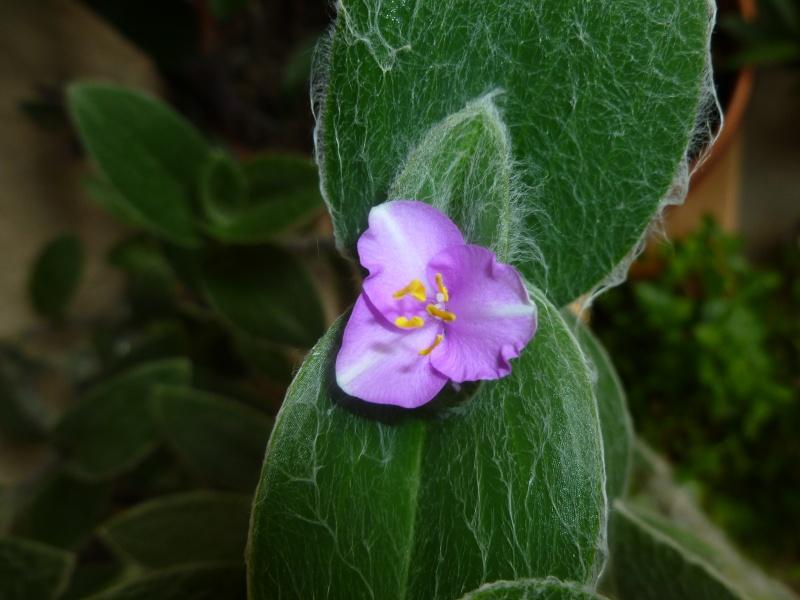 Floraisons de commelinaceae P1060221