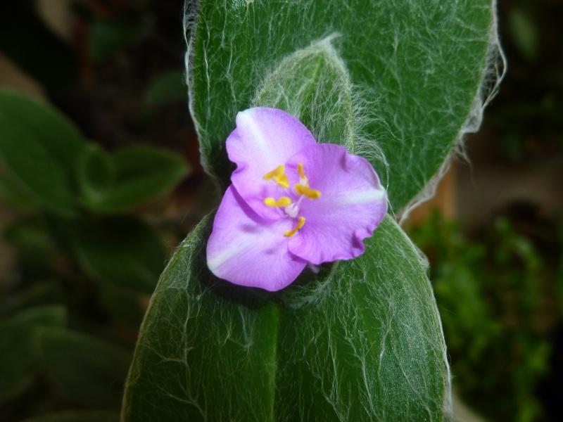 Floraisons de commelinaceae P1060222