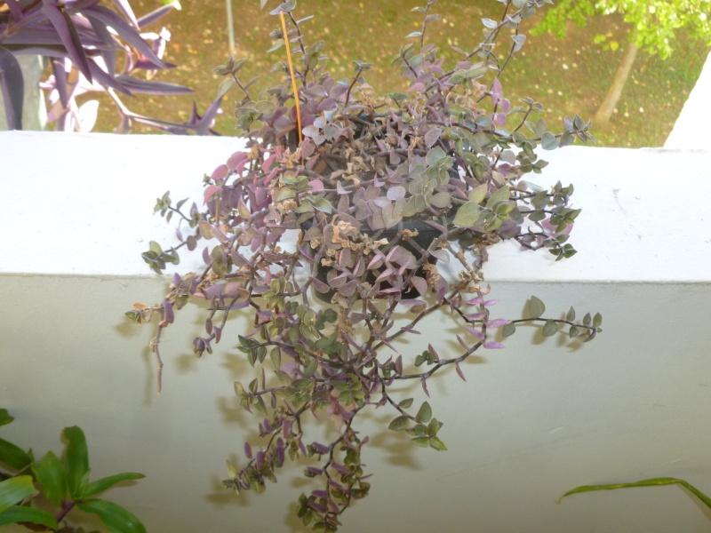 Petite  Commelinaceae  (7) [Callisia repens 'Bolivian Jewel' ] P1060625