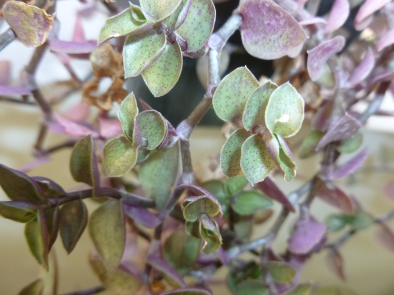 Petite  Commelinaceae  (7) [Callisia repens 'Bolivian Jewel' ] P1060627