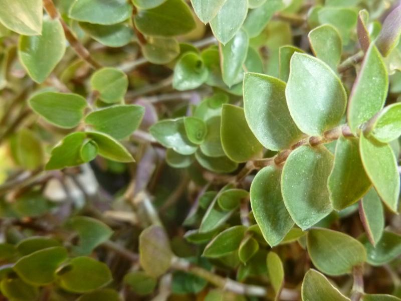 Petite  Commelinaceae  (7) [Callisia repens 'Bolivian Jewel' ] P1060628