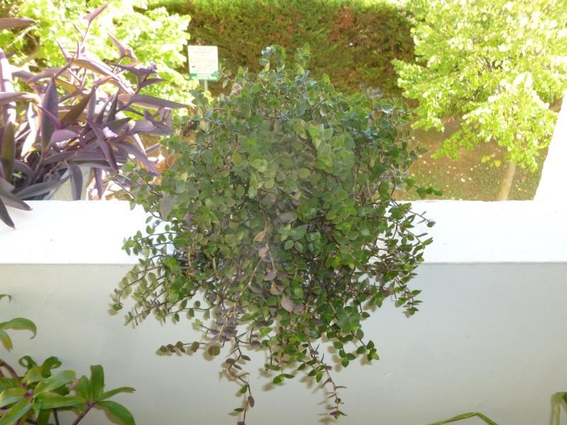 Petite  Commelinaceae  (7) [Callisia repens 'Bolivian Jewel' ] P1060629