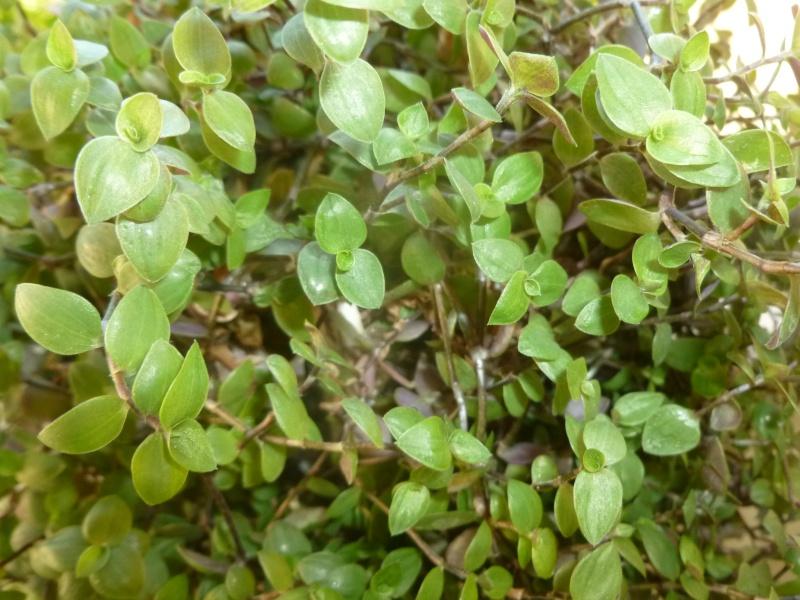 Petite  Commelinaceae  (7) [Callisia repens 'Bolivian Jewel' ] P1060631