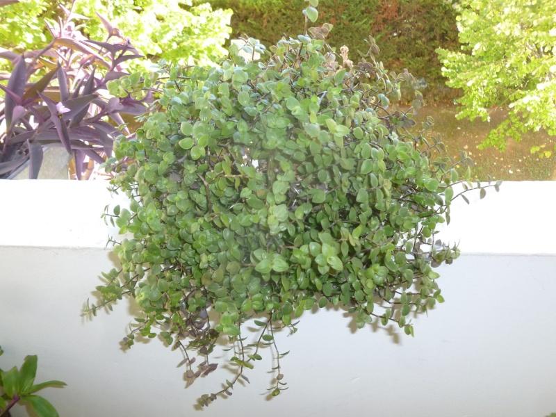 Petite  Commelinaceae  (7) [Callisia repens 'Bolivian Jewel' ] P1060632