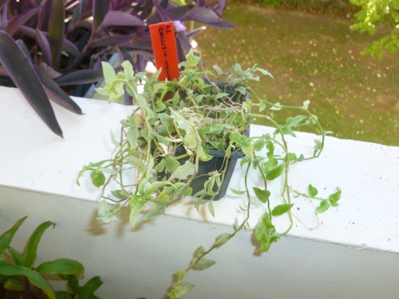 Callisia monandra P1060634