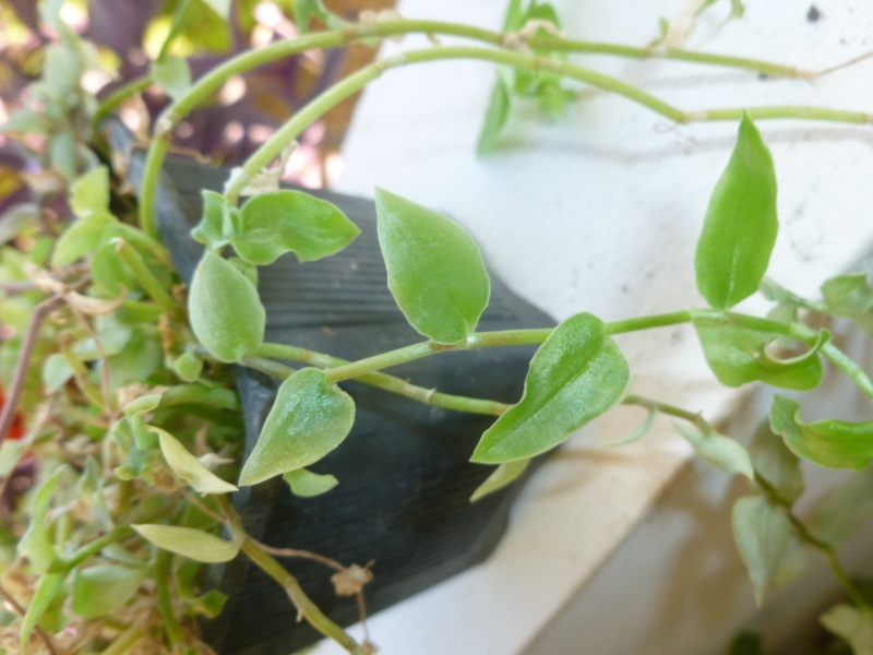 Callisia monandra P1060635