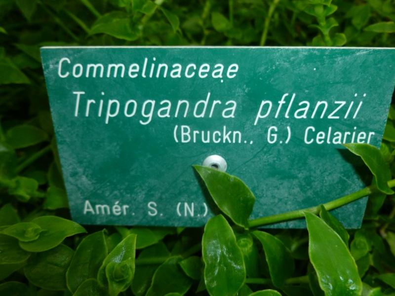 [ Tripogandra pflanzii ] P1060810