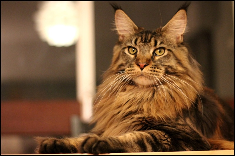 Le Maine Coon - Page 2 Image40