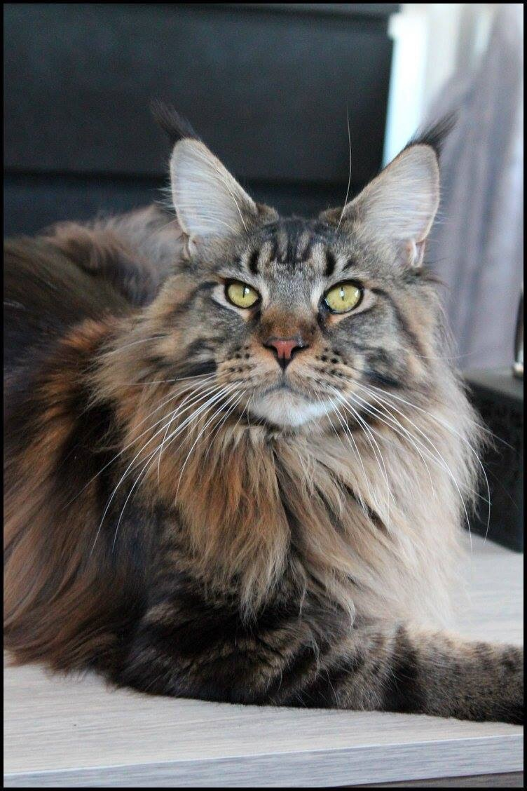 Le Maine Coon - Page 2 Image41