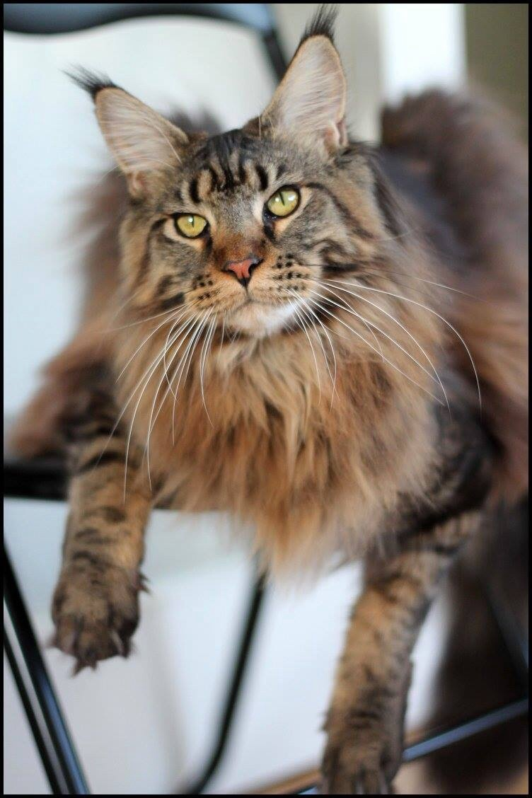 Le Maine Coon - Page 2 Image47