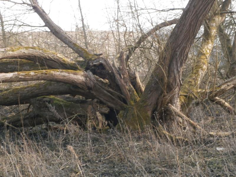 """"""" La galerie des arbres Creux """" P2190026"""