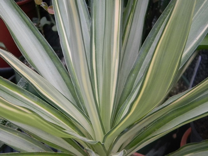 Yucca elephantipes - Yucca gigantea - Yucca guatemalensis Jew210