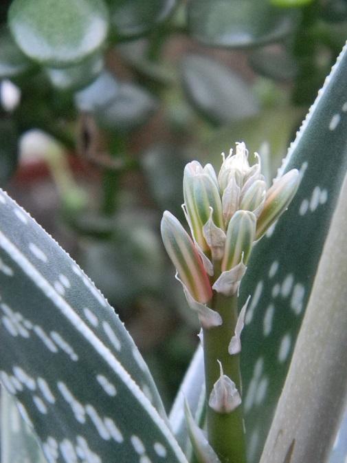 Aloe variegata - Page 2 Varieg16