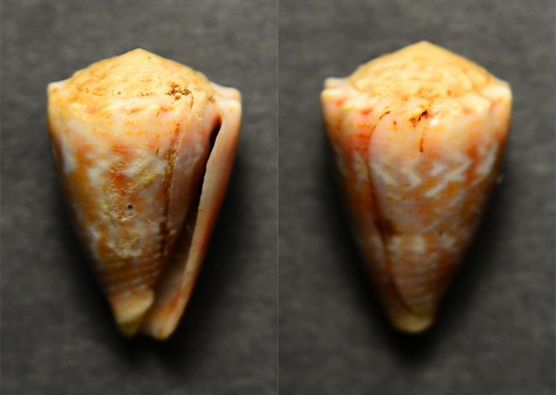 Un 4 eme  fond de boîte - Conus ? = conus miliaris Cyne-013