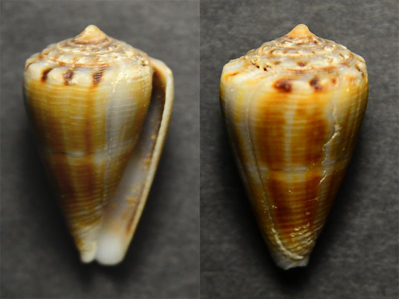 Un 5 eme  fond de boîte - Conus mus? = conus gladiator Cyne-014