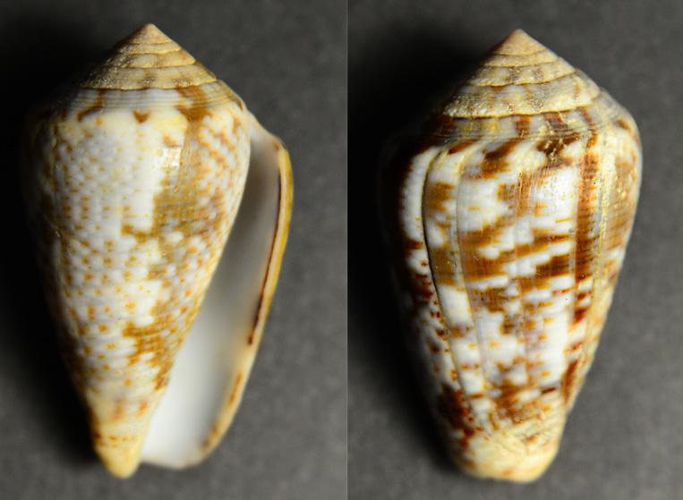 Conus (Pionoconus) nigropunctatus    GB Sowerby II, 1858 Cyne-020