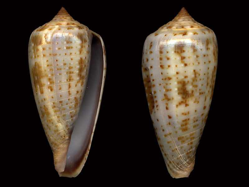 Conus (Phasmoconus) cinereus  Hwass in Bruguière, 1792 G_cine10