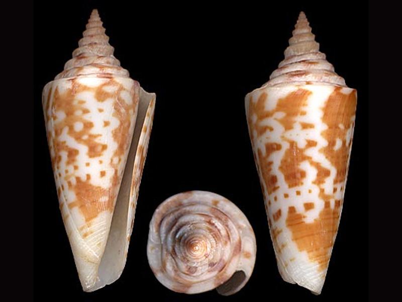 Conus (Dauciconus) scalarissimus   da Motta, 1988 G_scal10