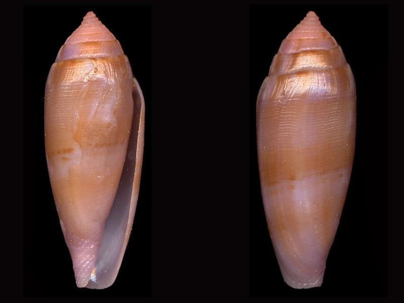 Conus (Leporiconus) granum  Röckel & Fischöder, 1985 L_gran10